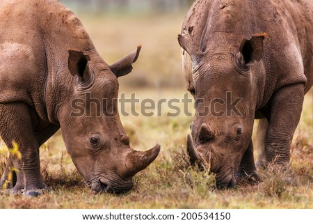 Close-up of two grazing White Rhinos in Lake Nakuru National Park, Kenya - stock photo