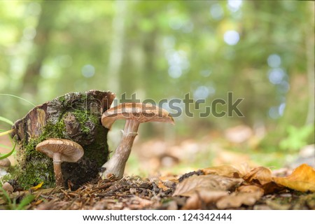 Close up of two honey mushrooms (Armillaria) growing on the forest floor in autumn. - stock photo