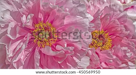 Close up of two Japanese peonies,digital oil painting