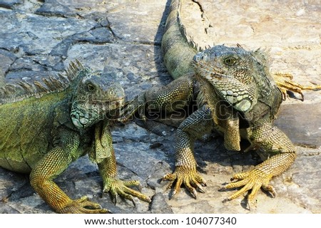 Close Up of Two Land Iguanas in the Parque de las Iguanas, Guayaquil, Ecuador - stock photo