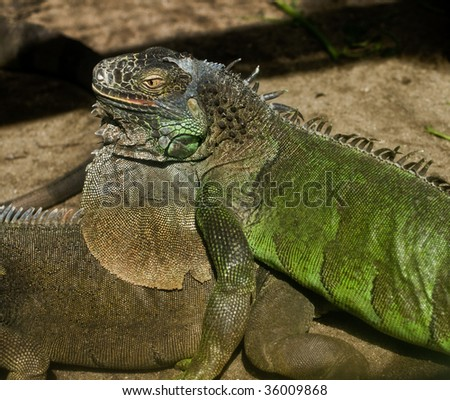 close up of two large iguana lizards