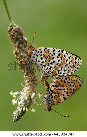 close up of two orange butterfly  having sex on a flower in the bush