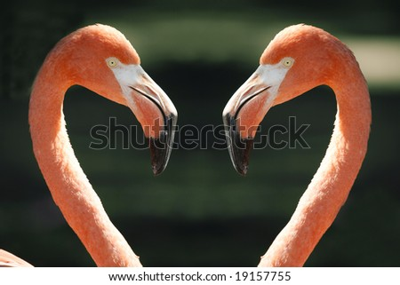 Close up of two pink american flamingos looking at each other, making the shape of a heart.  Scientific Name - Phoenicopterus ruber. - stock photo