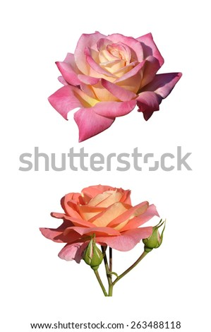 Close-up of two roses isolated on white background - stock photo
