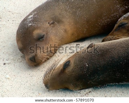 Close Up of Two Sea Lions in the Galapagos Islands - stock photo