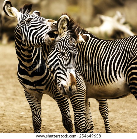Close-up of Two young zebras playing, heads together, one biting the other - stock photo