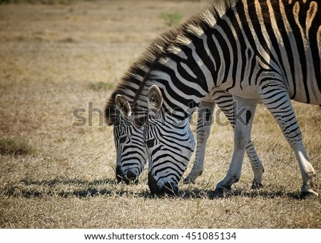 close up of two zebras grazing in addo elephant park - stock photo