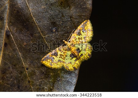 Close up of unidentified yellow moth on dried leaf in nature, flash fired