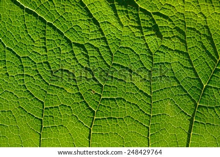 Close up of Vein pattern on plant leaf - stock photo