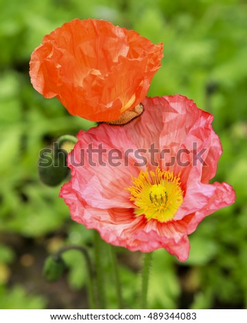 Close up of vibrant coloured poppy flowers