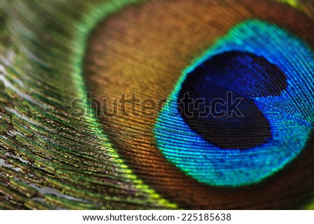 Close up of vibrant peacock feather - stock photo