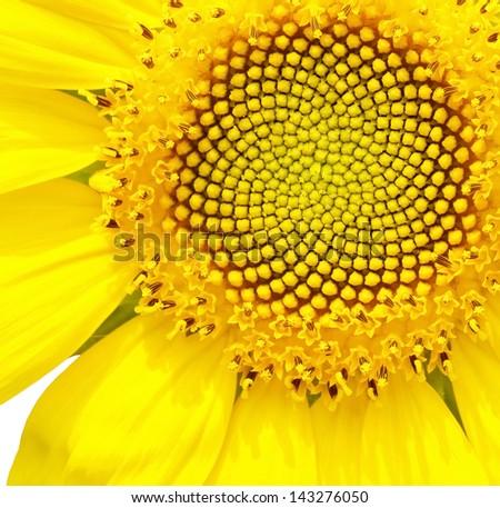 Close up of vibrant sunflower on white background - stock photo