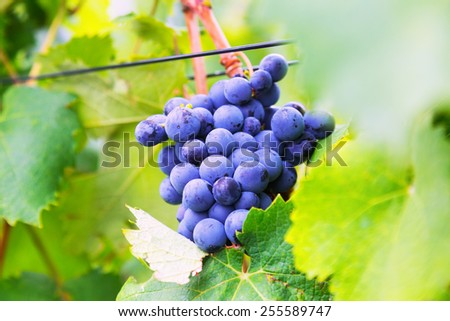 Close-up of vineyards plant in  august day. Mediterranean