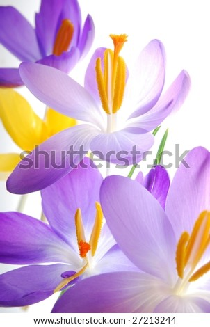 Close-up of violet and yellow spring crocus against white background