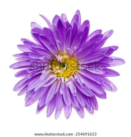 Close-up of violet aster isolated on white background.