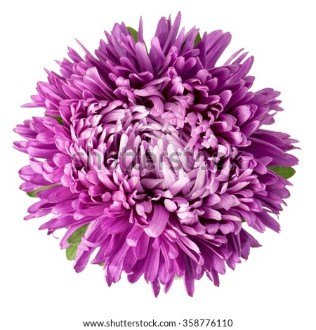 Close-up of violet aster isolated on white background. - stock photo