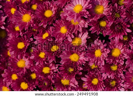Close up of violet Chrysanthemums flowers bouquet. - stock photo