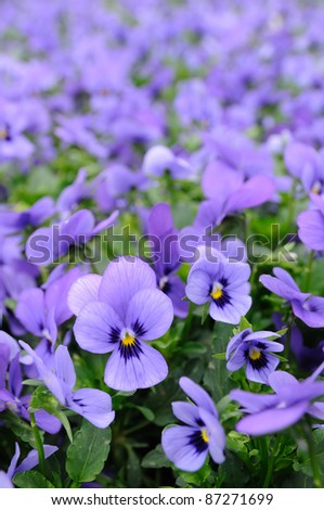Close up of violet pansy - stock photo