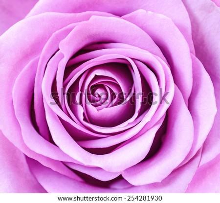 Close up of violet rose petals. - stock photo