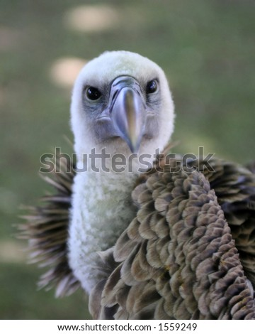 Close up of vultures head