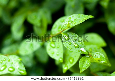close up of water drops on fresh green leaves background - stock photo