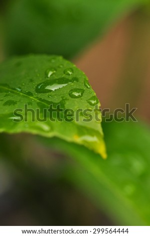 Close-up of water drops on green leaf. Selective focus. Macro - stock photo