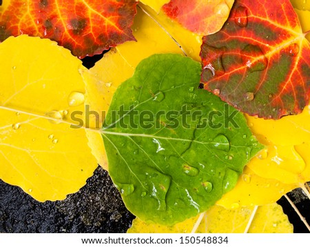 Close-up of wet colorful fallen aspen leaves in the fall. - stock photo