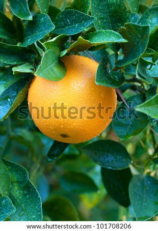 Close up of what I'm told is a sweet navel orange on a tree in winter in Southern California, perfect for a healthy snack or dessert.