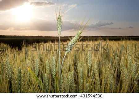 Close up of wheat ear in the field at sunset - stock photo