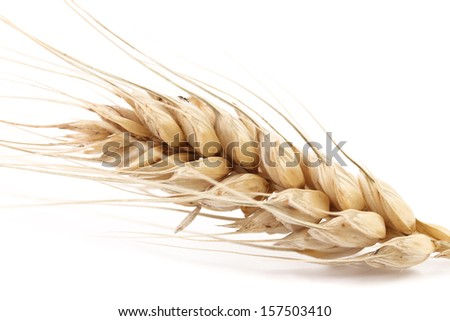 Close up of wheat ear. Isolated on a white background.