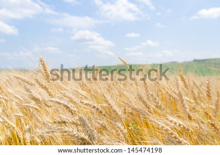 Close up of wheat field with a light blue sky - stock photo