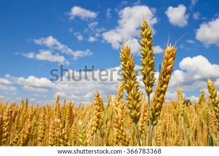 close up of wheat plants