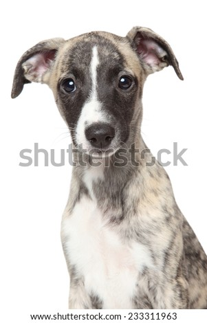 Close-up of Whippet puppy, isolated on white background