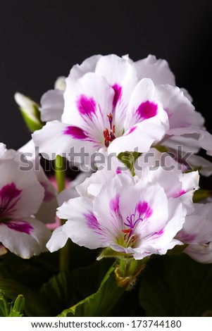 Close-up of white and pink amaryllises - stock photo