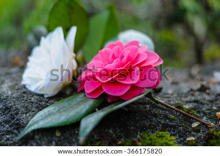 Close-up of white and pink camellia flower on a rock - stock photo