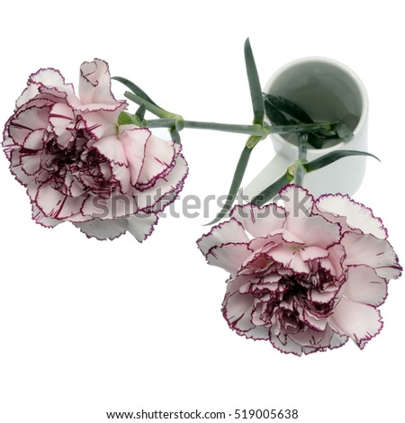 Close up of White and pink carnation flower