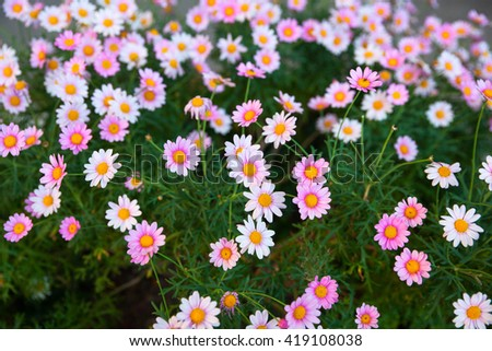 Close up of white and pink daisies - stock photo