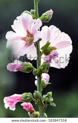 Close up of white and pink mallow (Malva) in summer - stock photo
