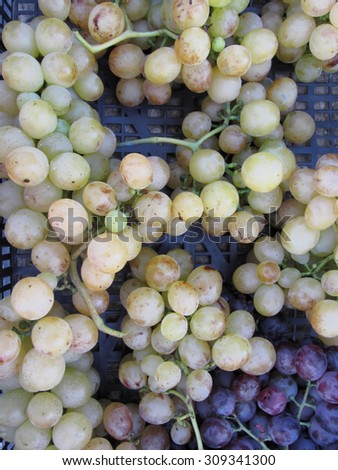 Close-up of white and red grapes in black plastic box, hand picked just as they ripen from the garden in a Tuscan farm - stock photo