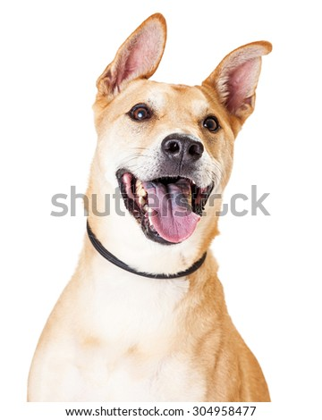 Close up of White and Tan Large Mixed Breed Dog with an open mouth and happy expression