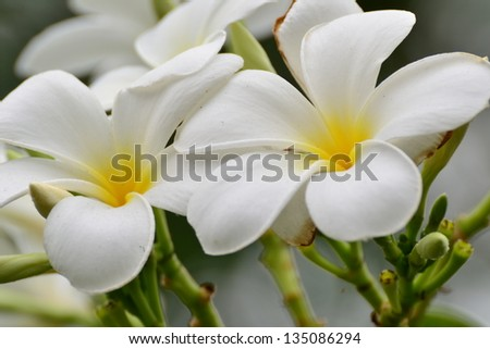 Close up of white and yellow frangipani flowers with leaves in background.