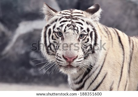 close up of white bengal tiger face - stock photo