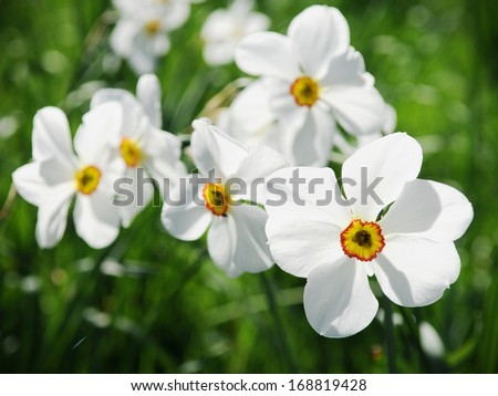 Close-up of White Daffodil (Narcissus poeticus) Flowers in Spring  - stock photo