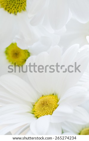 Close up of white, daisy shaped Chrysanthemum flowers with yellow pollen, filling frame. - stock photo