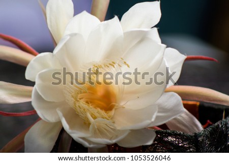 Close white flower night blooming cereus stock photo royalty free close up of white flower night blooming cereus aka ceroid cacti queen of mightylinksfo