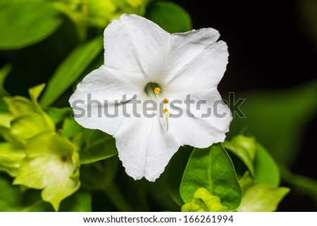 Close up of white four o'clock or marvel of peru flower (Mirabilis jalapa) in full bloom - stock photo
