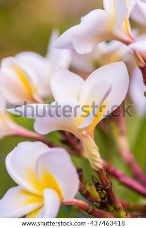 Close up of white Frangipani flowers, Thailand - stock photo