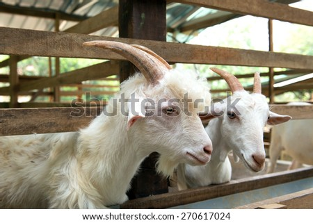 Close up of white goats in farm - stock photo