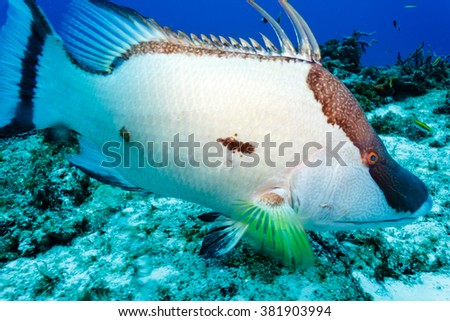 close up of white Hogfish lachnolaimus maximus on coral reef