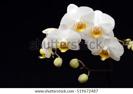 Close up of White orchid on black background